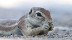 Cute feeding ground squirrel, Kalahari desert, South Africa Stock Footage