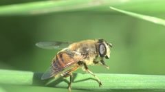 Insect bee washes on the green branch of horizontal, macro, 4k Stock Footage