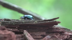 Big Black sugarcane beetle bug insect creeps on dry branches, macro Stock Footage