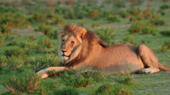 Stock Video Footage of Resting male lion
