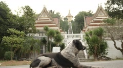 Dog like a guard near entrance to Vat Yan temple of Thailand Stock Footage