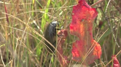 Water beetle bug insect standing near dry fruit, macro Stock Footage