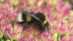 Bumblebee creeps on flower - gathers nectar and pollen, macro Stock Footage