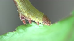 Green caterpillar to attach to the forest leaf, insect, macro - stock footage