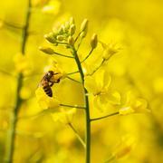 Honeybee Stock Photos