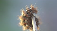 Shaggy yellow caterpillar to attach to tree branch in forest, insect, macro - stock footage