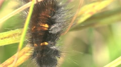 Black hairy caterpillar with orange spots crawling on green grass in meadow, 4k Stock Footage