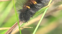 Black hairy caterpillar with orange spots crawling on green grass in meadow, 4k - stock footage