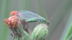 Chrysoperla carnea fly sitting on a green flower, macro, field, meadow Stock Footage