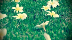 Frangipani plumeria Flower on green grass background - stock footage