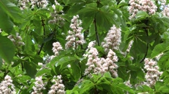 Aesculus horse chestnut tree blooms and bees collect nectar. 4K Stock Footage