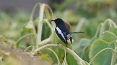 Oriental magpie-robin standing on sunflower shoot Stock Footage