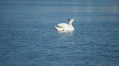 Beautiful Swan spreads its wings Stock Footage