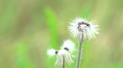 Fluffy white dandelion seeds flower swaying in the wind Stock Footage