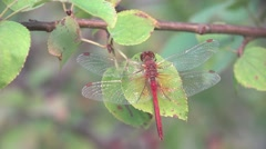 Red Dragonfly insect macro sits on dry leaves in the forest, meadow Stock Footage