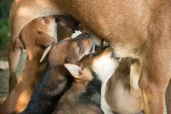 puppies sucking milk from mother - stock photo