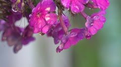Pink flower in fantastic drops of dew in the morning, flower bed - stock footage