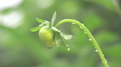 Single bud of a flower in the garden, in fantastic drops of dew and rain - stock footage