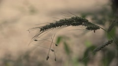 Dry grass seeds in contrast, on background of yellow meadows Stock Footage