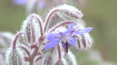Fantastic drops of dew on a blue furry flower, morning, meadow - stock footage