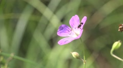 Single pink wildflower meadows on a green background with insects Stock Footage