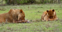 Young male and female Lion Stock Footage