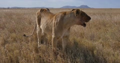 Female Lion resting after failed hunt - stock footage