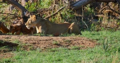 Stalking Female Lion - stock footage