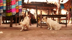 dogs in Karen village in Thailand near Pattaya - stock footage