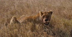 Stock Video Footage of Female Lion resting after failed hunt