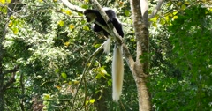 Black and White Colobus Monkey in tree Stock Footage