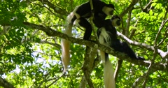Black and White Colobus Monkey Pair in tree Stock Footage