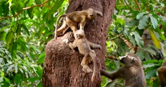 Young Baboons play in tree Stock Footage