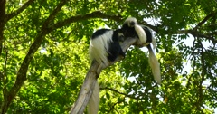 Black and White Colobus Monkey Family in tree - stock footage