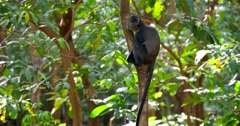 Blue Monkey in Tree Stock Footage