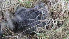 Stock Video Footage of Nutria (Myocastor coypus), in native habitat