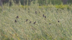 Scaly-breasted Munia birds and sunn hemp seed pods Stock Footage