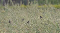 Scaly-breasted Munia birds on sunn hemp shoot Stock Footage