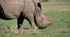 Rhino Feeding Close Up Stock Footage