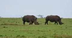 Rhino Pair Feeding Stock Footage