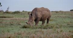 Rhino Feeding Stock Footage