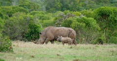 Rhino mother and baby Stock Footage