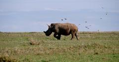Rhino runs Stock Footage