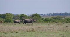 Rhinos Walking Stock Footage