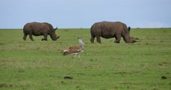 Rhino Pair Feeding with Bustard in Foreground Stock Footage