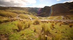 Llama drove in nice landscape in Peruvian Andes - stock footage