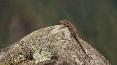 Saurian (Close-up) in Machu Picchu, Peru Stock Footage