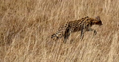 Serval Cat walking in tall grass Stock Footage