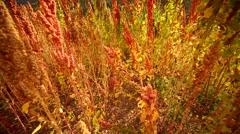 Quinoa field in Peru (Andes near Cusco) Stock Footage