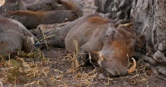 Bird cleans parasites from sleeping Warthog - stock footage